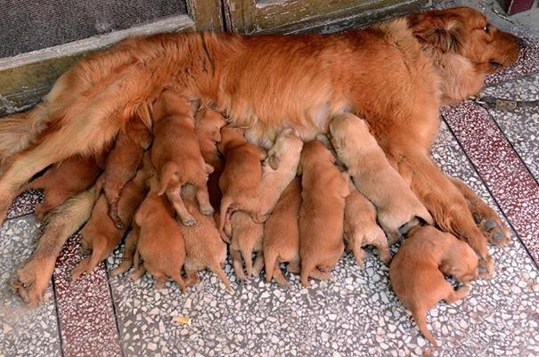 Số cún con không thể đếm nổi.