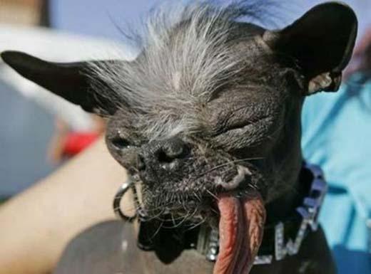 Chú chó xấu xí nhất thế giới.(Nguồn: Internet)