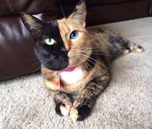 Do đột biến gen mà chú mèo này có gương mặt 2 màu khác nhau thế này.(Nguồn: Internet)