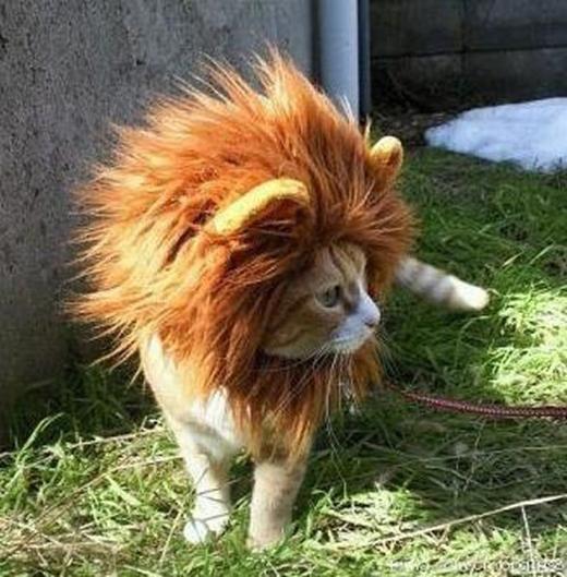 Tôi thấy một con mèo với tham vọng trở thành sư tử.(Nguồn: Internet)