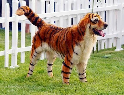 Tôi lại thấy thêm một chú chó có ước mơ trở thành một con cọp vằn trong lễ hội Halloween.(Nguồn: Internet)