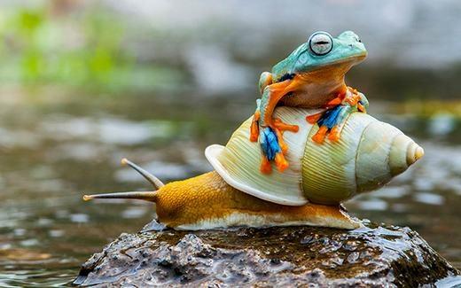 """Một con ếch """"đi nhờ"""" trên lưng một con ốc sên ở Jakarta, Indonesia. (Ảnh: Andri Priyadi)"""