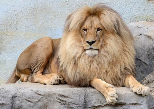 """Chú sư tử có """"mái tóc thời trang"""" ở Cộng hòa Séc. (Ảnh: Slavek Ruta / REX Shutterstock)"""
