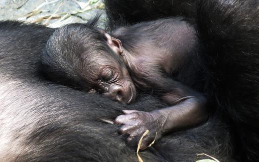 Kamba, một con khỉ đột 11 tuổi đang âu yếm đứa con có tên Zacharytại vườn thú Brookfield ở Illinois. (Ảnh: EPA/Tannen Maury)