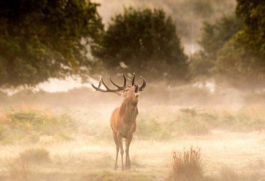 Một con hươu sừng tấm đang đón bình minh với sương bao phủ ở công viên Richmond. (Ảnh: Rick Findler)