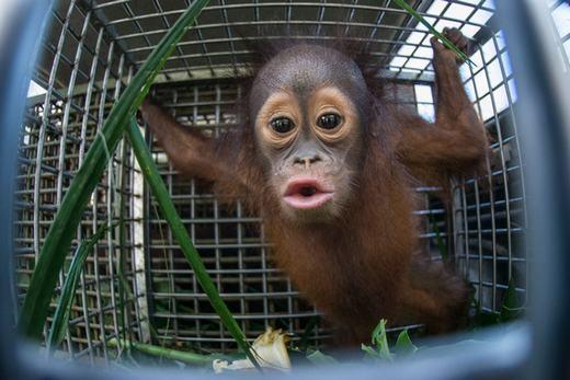 Khoảnh khắc chú khỉ con 18 tháng tuổi được thả về rừng nhiệt đới Borneo. (Ảnh: Barcroft Media)