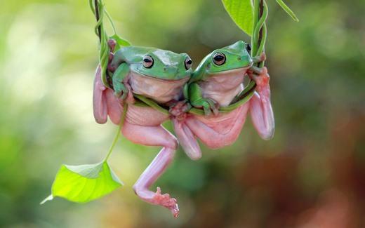 Hai chú ếch dễ thương trên một cây nho ở Jakarta, Indonesia. (Ảnh: Kurit Afsheen)