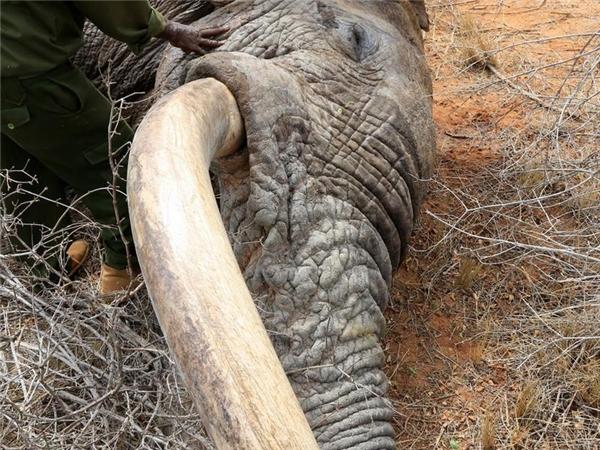 Những chú voi liều mạng tìm con người khẩn cầu giúp đỡ