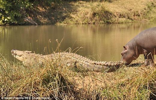 Mới đây, nhiếp ảnh gia động vật Karen Paolillo đã tình cờ ghi lại cảnh tượng hiếm thấy, đó là hà mã đang trêu đùa con cá sấu khá lớn tại vườn quốc gia Turgwe Hippo Trust ở Zimbabwe. (Ảnh:Karen Paolillo)
