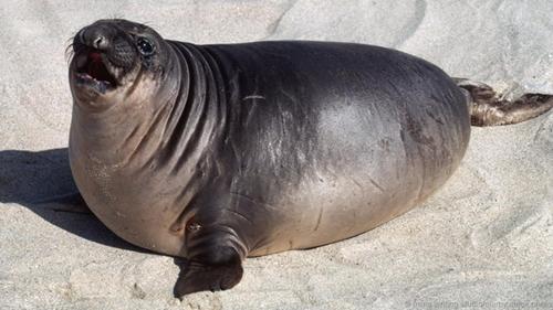 Hải tượng con. Cơ thể hải tượng, hải cẩu trùm mũ, hải cẩu Greenland, hải cầu đeo vòng con có thể chứa 50% mỡ khi mới cai sữa. Nhưng chất béo này không tồn tại lâu.Ảnh:BBC.