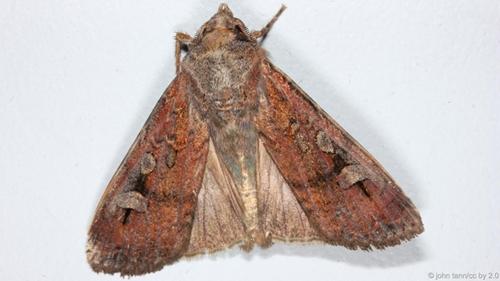 Bướm đêm bogong béo.Một số côn trùng được coi là béo so với kích thước của chúng. Bướm đêm và ấu trùng được biết đến như đồ ăn nhẹ giàu chất béo của thổ dân Australia.Ấu trùng bướm cossid (Endoxyla leucomochla) còn gọi là ấu trùng witchetty chứa 20% chất béo, trong khi bướm đêm bogong trưởng thành có tới 39%. Trong công viên quốc gia Yellowstone, Mỹ, gấu xám Bắc Mỹ ăn sâu ngài đêm để tích thêm mỡ trước khi mùa đông tới.Ảnh:BBC.