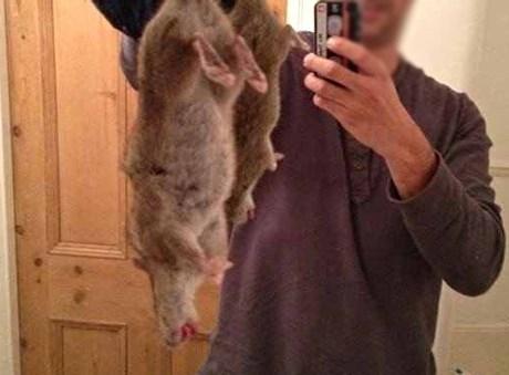 Một con chuột khổng lồ bị đánh bả ở Liverpool.