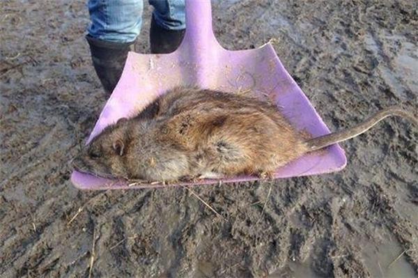 Chuột có kích thước ngoại cỡ xuất hiện ngày càng nhiều ở nước Anh.