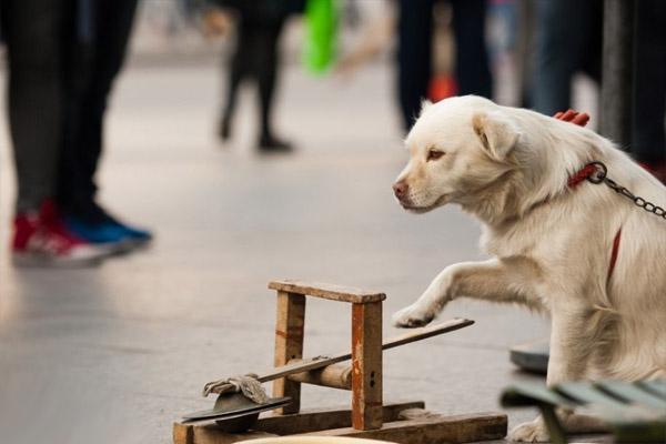 """Chú chó cưng đồng hành với ông đã được huấn luyện để dùng hai chân trước gõ """"cồng chiêng""""."""