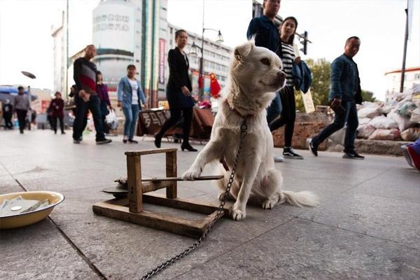 Không những biết gõ keng keng mà chú chó còn gõ theo nhịp khá chuẩn.