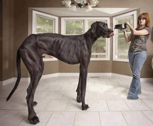 Zeus được xem là chú chó còn sống cao nhất thế giới với 1,118m và nặng hơn 70kg, tương đương thân hình của một con lừa. Được biết, chú chó chân dài này thuộc giống Great Dane khổng lồ. Mỗi ngày, Zeus ăn 14kg thức ăn. (Ảnh: Internet)
