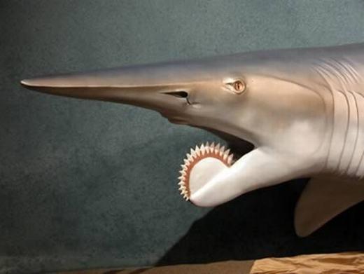 Helicoprion là một loài cá mập sinh sống trong vùng biển Permi khoảng 290 triệu năm trước đây. Đặc trưng của nó là hàm răng hình xoắn ốc và chiếc mũi nhọn, dài. (Ảnh: Internet)