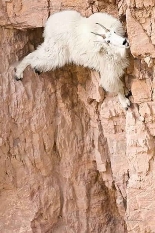 Những con dê núi Bắc Mỹ có khả năng leo trèo ở những vách núi cheo leo, hiểm trởkhông thua kém gấu hay khỉ. Chúng sống ở độ cao lên tới 4.000 mét so với mặt nước biển. (Ảnh: Internet)