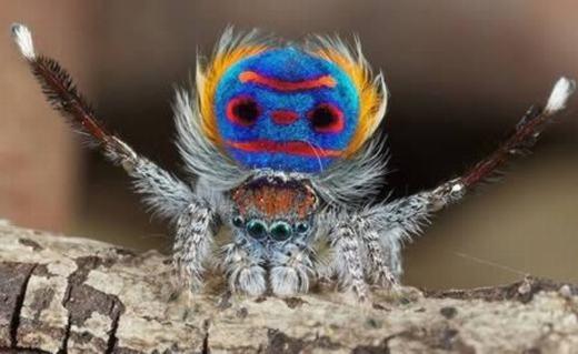Một chú nhện đầy màu sắc mang tên Peacock (hay còn gọi là nhện công) được tìm thấy tại Úc. Màu sắc trên lưng của nó có công dụngthu hút bạn tình. (Ảnh: Internet)