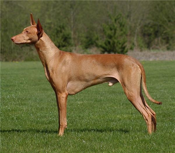 Một chú chó sănPharaoh có giá từ 2.500 USD đến 6.500 USD (khoảng 45 triệu đồng đến 145 triệu đồng).(Nguồn: Internet)