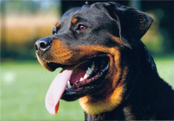 Rottweiler có giá tầm 7.000 USD (khoảng 155 triệu đồng).(Nguồn: Internet)