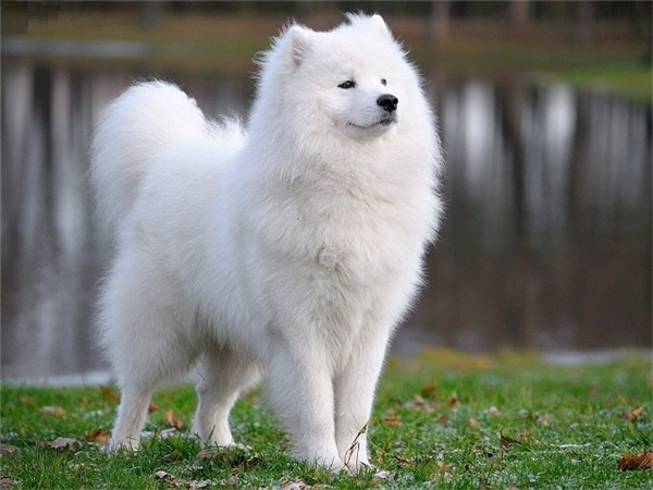 Để sở hữu một chú chó Samoyed, bạn phải bỏ ra từ 4.000 USD tới...11.000 USD (khoảng 90 triệu đến 225 triệu đồng). (Nguồn: Internet)
