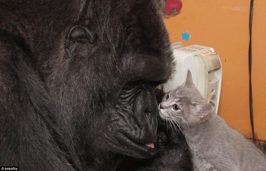 Cảm động tình mẫu tử giữa khỉ đột và mèo con