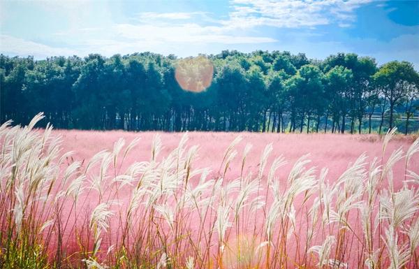 Loại cỏ màu hồng có tên gọi Muhlenbergia capillaris - một loài thực vật có hoa trong họ Hòa Thảo được những người dân Trung Quốc nhập khẩu từ Bắc Mỹ.
