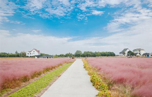 Cỏ này thường mọc dọc theo hai bên đường và nó đồng loạt có màu hồng từ giữa tháng 9 đến giữa tháng 11 tạo nên một khung cảnh tuyệt đẹp, hiếm có ở nơi nào khác.