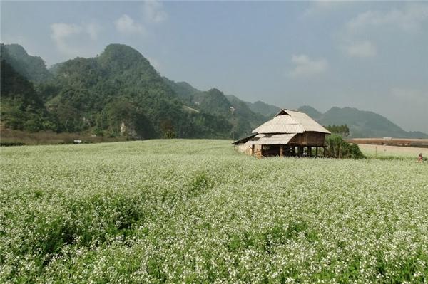 Trải nghiệm Mộc Châu với hoa vàng cỏ xanh ngát trời