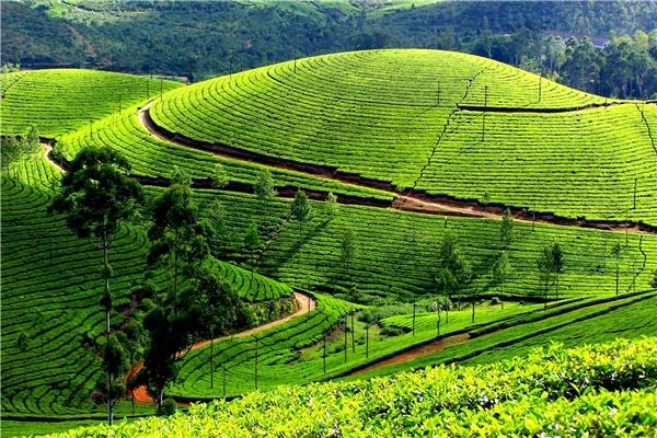 Những đồi chè xanh mơn mởn là nét đặc trưng không thể thiếu của Mộc Châu. (Ảnh: Internet)