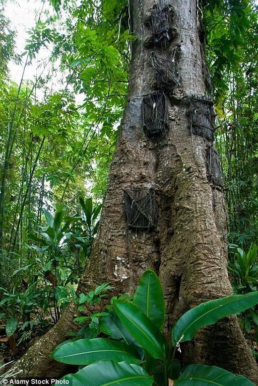"""Lỗ khoét đủ không gian cho tử thi nhưng vẫn đảm bảo cây sinh trưởng tốt. Sau đó, họ sẽ dùng lá cọ kết thành tấm chắn để che bên ngoài, giống như cửa ra vào vậy. Mỗi cây, tùy độ lớn mà có thể có mộthoặc nhiều """"ngôi nhà"""" cho các bé an nghỉ. (Ảnh: Internet)"""