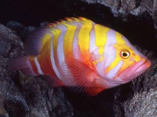 Cá mú Neptune (Neptune Grouper) được nhận định là một trong những loài hiếm nhất thế giới hiện nay. Đặc trưng của nó là màu vàng nhưng có thể đổi thành màu cam hoặc màu hồng rực rỡbắt mắt. Giá bán hiện tại của loài cá này vào khoảng 6.000USD/con (khoảng hơn 134 triệu đồng). (Ảnh: Internet)