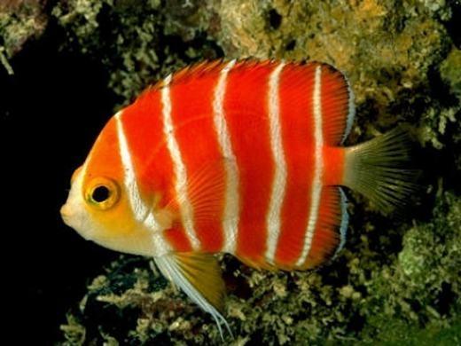 """Chú cá có tên Peppermint Angelfish này đang thuộc loại hiếm nhất thế giới. Hiện chỉ có 1 vài con được trưng bày ở một số thủy cung lớn trên toàn cầu do chúng ẩn nấp rất sâu dưới đáy biển. Với mứcgiá 30.000 USD (hơn 671 triệu đồng), loài cá này luôn nằm trong danh sách mơ ước của những """"tay"""" chơi cá cảnh thứ thiệt. (Ảnh: Internet)"""