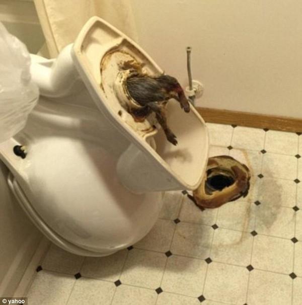 Con chuột khổng lồ mắc kẹt vào ống thoát nước bồn cầu ở khách sạn.