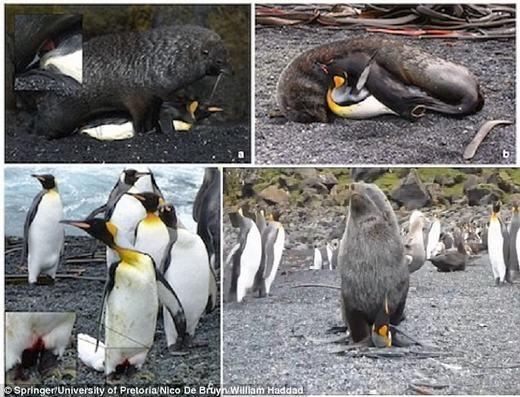 """Hải cẩu có một hành vi khá """"biến thái"""" là """"cưỡng ép"""" chim cánh cụt hoàng đếgiao phối. Việc """"quấy rối tình dục"""" của hải cẩu khiến các nhà khoa học khábất ngờ. Được biết, trường hợp """"cưỡng ép""""đầu tiên đãđược ghi nhậnở đảo Marion, Nam Phi. (Ảnh: Internet)"""
