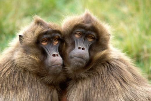 Vào ngày 29/7/2013, tạisở thú Emmen Dierenpark, Hà Lan ghi nhận trường hợp 112 con khỉ đầu chó bỗng có những hành vi kì lạ không thể mô tả, khác xa so với sở thích nhảy nhót thông thường. Trong quá trình theo dõi, vào những ngày cuối, những con khỉ này lạichỉngồi quay mặt vào tường, không có hành động gì khác. Sau đó, chúng trởlạibình thường. (Ảnh: Internet)