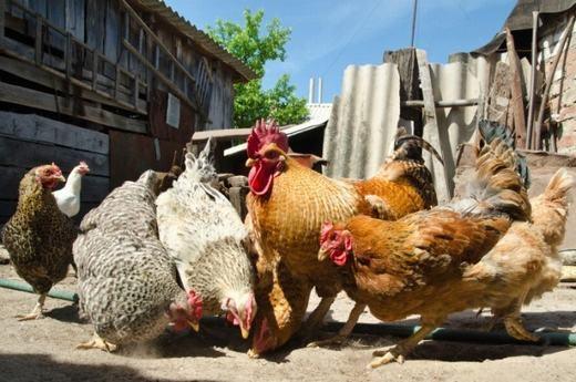 """Trên thế giới đã ghi nhận một số trường hợp """"chuyển giới"""" từ gà mái biến thành...gà trống. Tất nhiên, kích thước con vật cũng tăng dần, màu lông biến đổi, có mào và thậm chí có thể gáy được. (Ảnh: Internet)"""