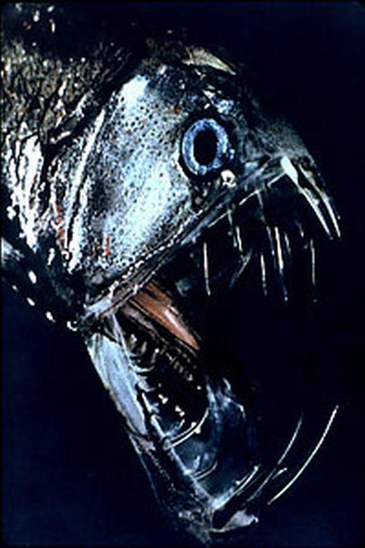 """Ban đêm, một số vị trí trên cơ thể chúng phát ra ánh sáng, được gọi là phát quang sinh học. Với ngoại hình này, bạn sẽ phải """"chết khiếp"""" khi nhìn thấy. (Ảnh: Internet)"""