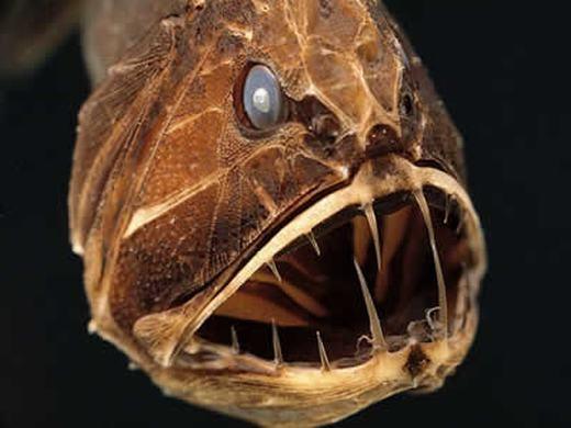Loài cá này có tên là Fangtooth (tên khoa học Anoplogaster cornuta), sống chủ yếu ở Úc. Dù chiều dài cơ thể không quá 13cm nhưng Fangtooth được xem là quái vật đại dương, có thể tấn công và ăn bất cứ thứ gì chúng thấy bằng hàm răng sắc nhọn. Đặc trưng của loài cá này là đầu lớn, răng nanh dài, miệng cực rộng, thân màu nâu sẫm hoặc đen… và sống ở độ sâu gần 5.000m. (Ảnh: Internet)