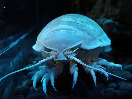 Động vật chân giống khổng lồ (tên khoa học là Bathynomus giganteus), là thành viên lớn nhất được biết đến của gia đình chân giống. Nó là một loài giáp xác ăn thịt (chủ yếu sinh vật không xương sống nhỏ) và dành thời gian trong đời để...nhặt rác dưới đáy đại dương sâu thẳm. (Ảnh: Internet)