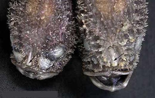 Coffinfish (tên khoa học là B.melanostomus) đặc trưng với cơ thể mềm và đuôi dài, được bao phủ bởi các gai nhỏ, dài khoảng 10cm. Loài này tồn tại chủ yếu ở miền Trung đến Đông Ấn Độ Dương ở độ sâu từ 1320m - 1760m. (Ảnh: Internet)