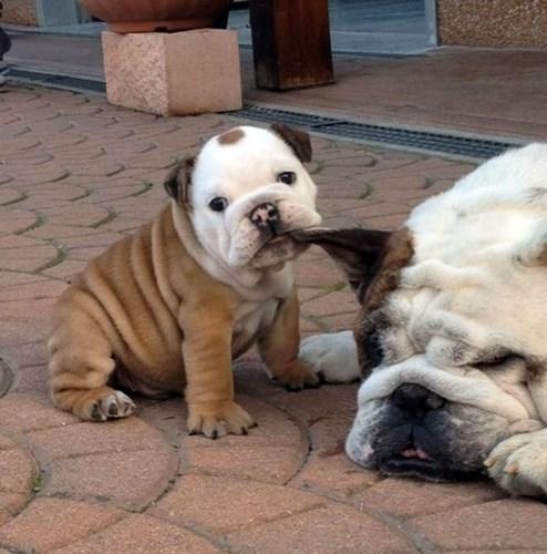 Năn nỉ mãi không được cô chủ dẫn đi chơi, chú chó Bulldog con giận dỗi nhéo tai mẹ nhõng nhẽo siêu đáng yêu.