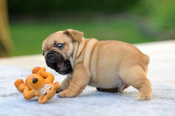 Lần đầu được chơi trò chơi phát ra tiếng, chú chó bulldog một tháng tuổi này hoảng sợ rất ngộ nghĩnh.