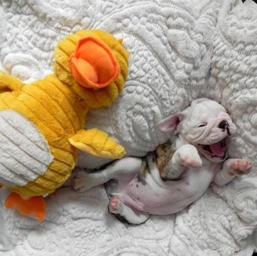 Còn nhỏ, được cô chủ ưu ái cho ngủ nướng, chú chó này thể hiện sự thích thú tột cùng.