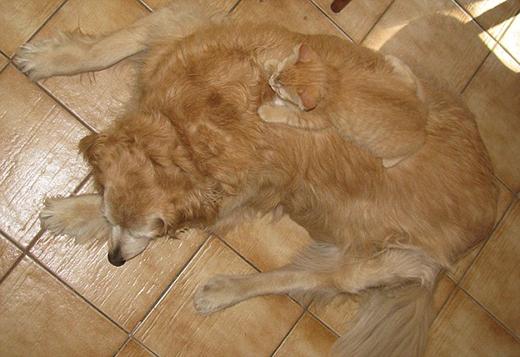 Tôi thấy con mèo vàng đang nằm ngủ trên lưng của một chú chó.(Nguồn: Internet)