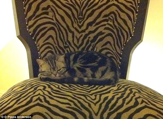 Lỡ mà không cẩn thận, không chừng các cô/ cậu chủ có thể bị em mèo này cào nát mông...(Nguồn: Internet)