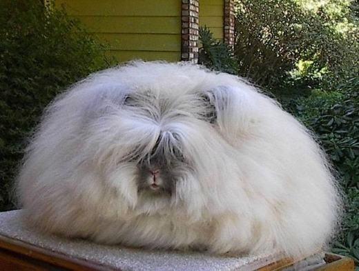 """""""Cô chủ không chịu làm tóc cho mình, riết người ta không biết là con gì! Dạ thưa các anh chị, em là thỏ ạ!"""". (Ảnh: Internet)"""