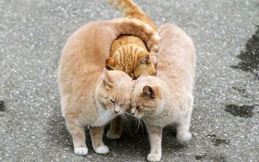 Tình yêu tay ba phiên bản mèo. (Ảnh: Internet)