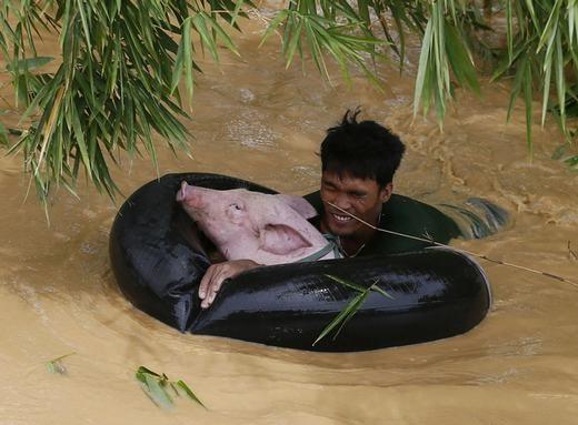 Một người đàn ông đang cứu chú lợn giữa dòng nước lũ chảy xiết trong trận siêu bãoTyphoon Koppu gây lụt lội nghiêm trọng ở Sta Rosa, Philippines. (Ảnh: Bullit Marquez)